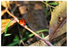 ladybug crossing by Lk-Photography