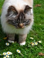 Cat And Daisies by Forestina-Fotos