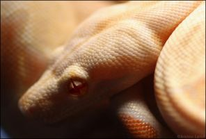 Stoli, Albino Redtail Boa by oOBrieOo
