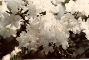 White azaleas by bewilderedconfused