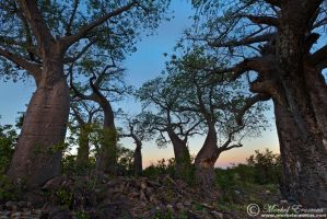 Baobab Dawn by MorkelErasmus