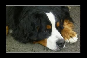 Bernese Mountain Dog: Java by dogs