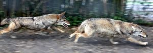 Coyote Chase by Jack-13