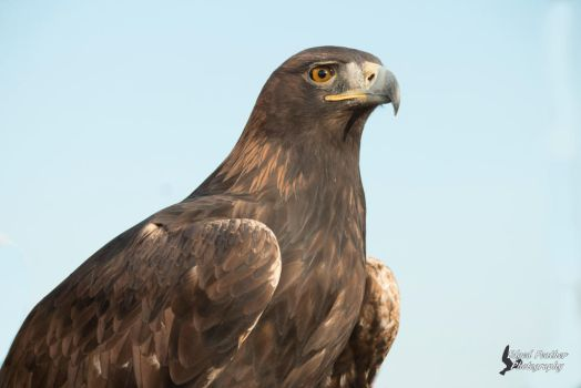 Golden Eagle 5 by EdgedFeather