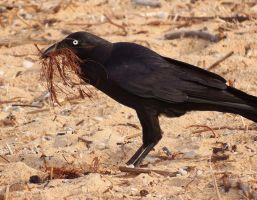 Raven on beach 1 by wildplaces