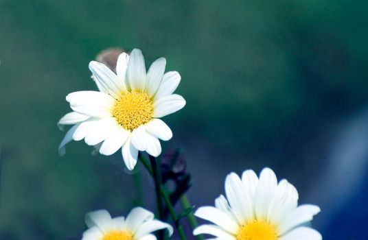 Daisies... by fear-inmotion