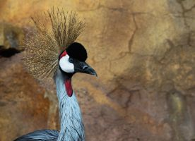 African Crowned Crane by rainylake