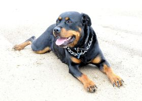 Charlea the Rottie 17 by teslaextreme