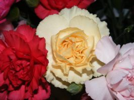 more carnations by BlueIvyViolet