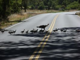 Turkey Crossing by SJG-photography