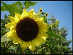 You Are My Sunflower by Alexgoesglobal