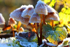 Frosty kristal mushrooms in the morning sun 4 by MT-Photografien