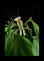 mantis03 by knold