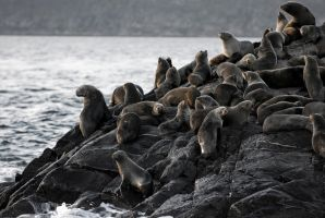 Sea Lions by SantiBilly