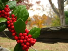 Holly Berries by demboys18