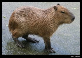 Capybara by Lunchi