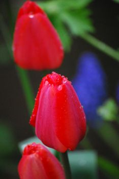 Red Tulips 09 II by digita1Light