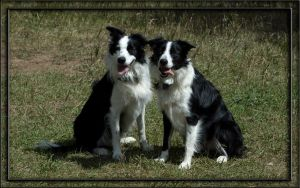 Border Collie Buddies by Kaessa