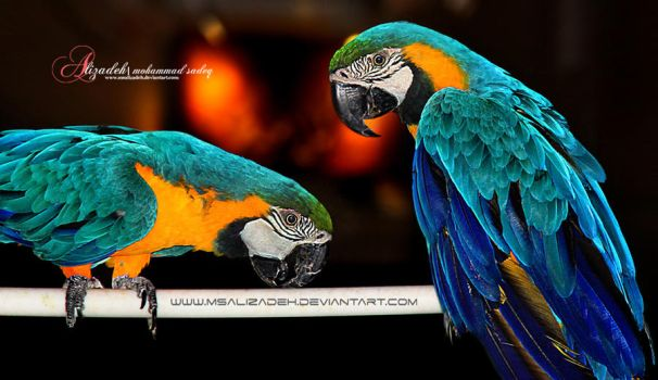 A pair of parrots by msalizadeh
