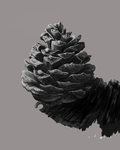 Pinecone by LyndsayHarper