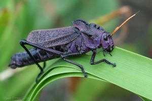 Red-winged Grasshopper by Daan-NL