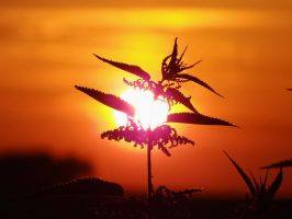 The Sun touching a nettle by EricaOscura
