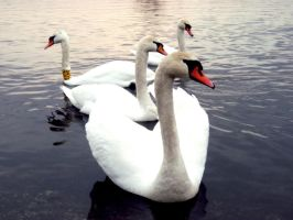 Swan 2 by TinaaKc