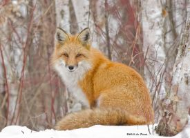 Winter Fox 2 by Les-Piccolo
