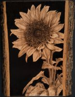 Pyrography of a Sunflower by brandojones