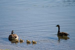 Geese and goslings by Sinned-angel-stock