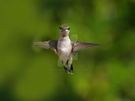 Humming Bird Check Me Out by Photography-by-Image