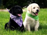 Labradors by WorkingDogs