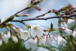 Spring: Japanese Cherry Branch by taeliac