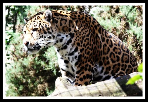 Amur Leopard 3 by Littlegothickitty