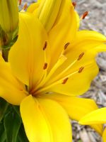Yellow Lily by FantasyStock