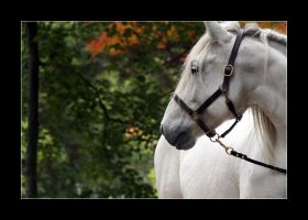 grey gelding, turning by Rohwen