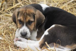 English Foxhound Pup 2 by lucky128stocks