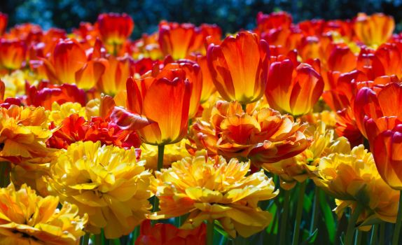Red and Orange Tulips by greenjinjo