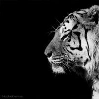 Panthera Tigris by NicolasEvariste