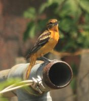 Blatimore oriole by Laur720