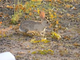 Wild Bunny Rabbit with Big Nasty Teeth by KeithEKimball