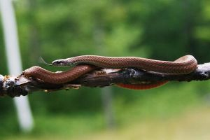 Red Bellied Snake 2 by Xercesa