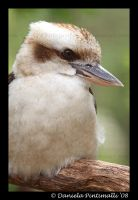 Kookaburra Portrait by TVD-Photography