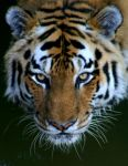..Tiger.. by superdavej