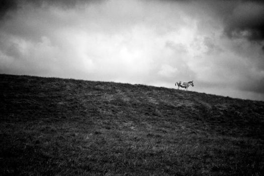 Persian Onager on a Hill by robertllynch