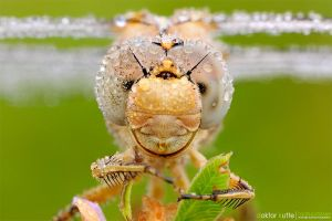 Dragonfly - DK2 by Stefano-Coltelli