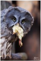Great Grey Owl - Lunch by W0LLE