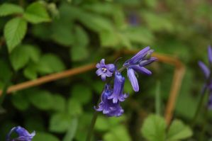 Just a Bluebell by turlough
