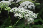 Water Parsnip by LucieG-Stock