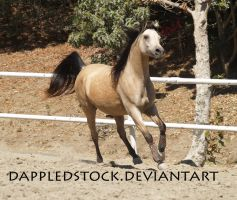 Buckskin Arabian 08 by dappledstock
